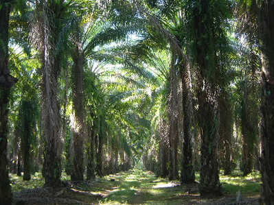 Las plantaciones de palma aceitera no serán nunca sostenibles